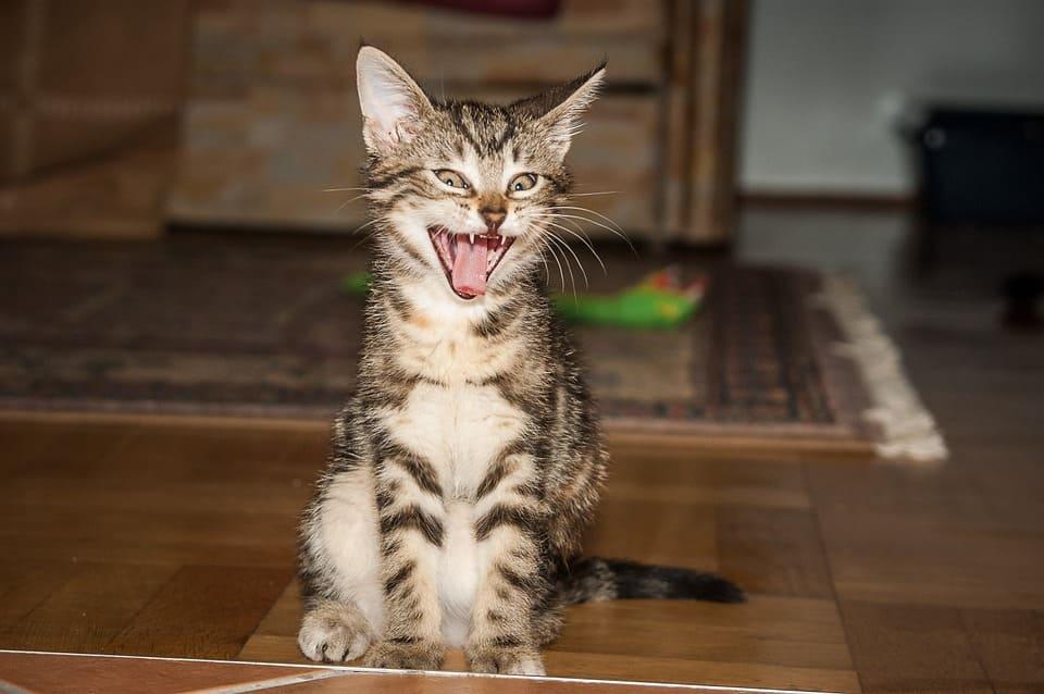 age ou chaton perd dents