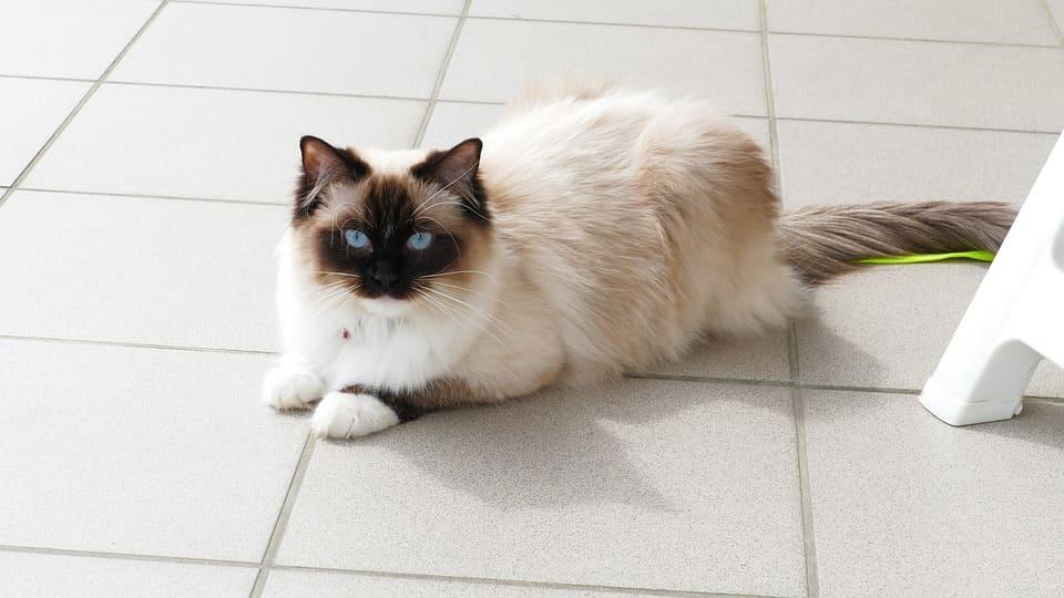 chat urinant du sang