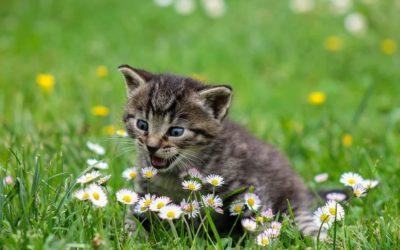 Quel est le poids idéal d'un chaton ?
