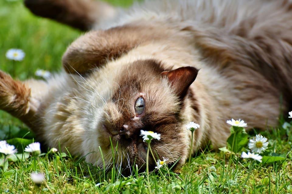chat lechant cheveux