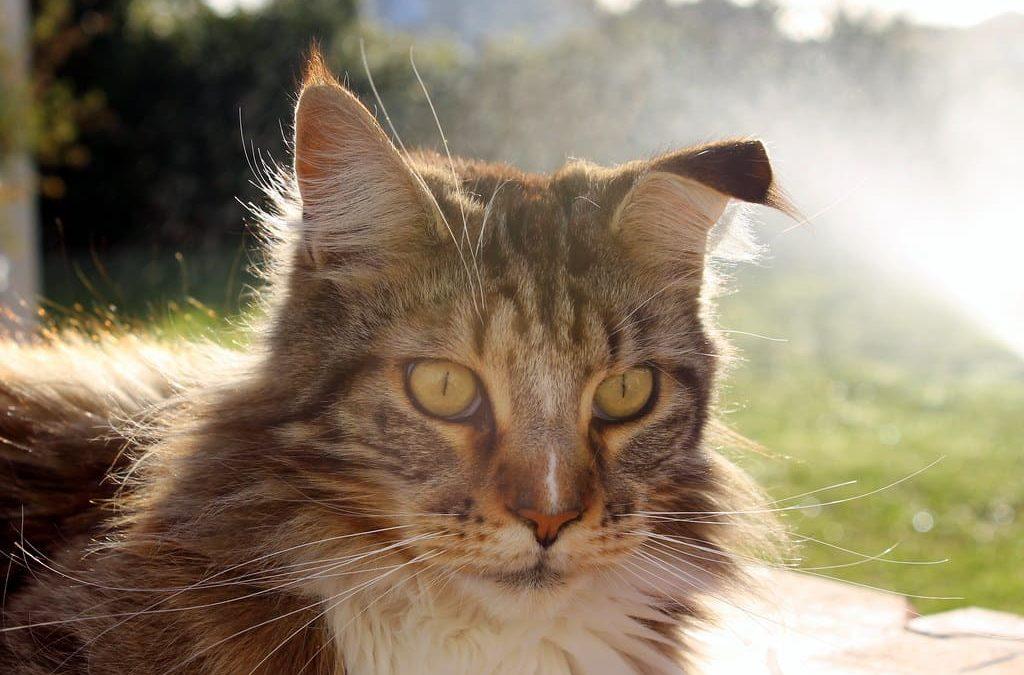 Mon chat a une oreille pliée : Comprendre et agir