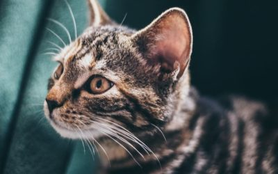 Mon chat a les oreilles chaudes : Pourquoi et que faire ?