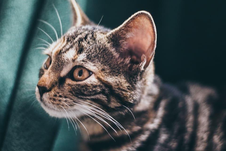 chat oreille chaude