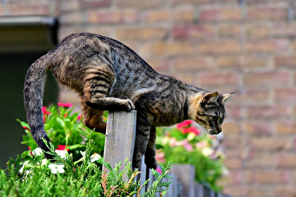 Chat qui la queue qui tremble : Ce qu'il faut savoir