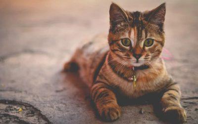 Comment faire accepter un chaton a un chat adulte ?