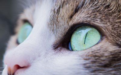 Chat qui a les yeux qui coulent : Les causes et leurs solutions