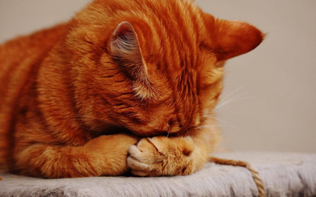 chat vomit jaune mange plus