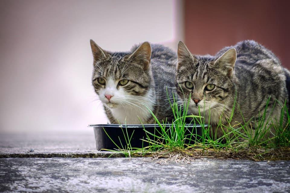 chat mange pas 7 jours