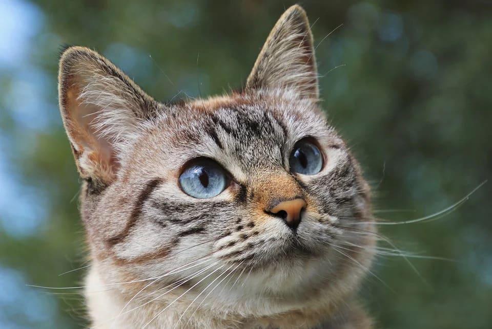 mon chat se gratte l'oreille